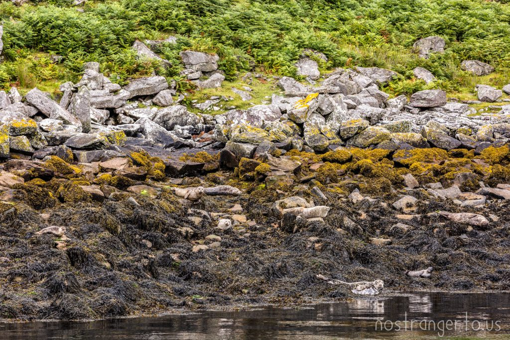 Harbor Seals in the Hebrides